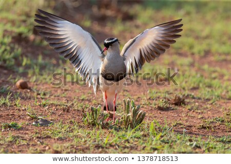 Crowned lapwing walking in the grass. stock photo © simoneeman