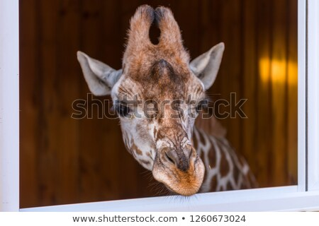 Giraffe looking out of the window Stock photo © jamdesign