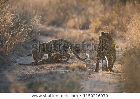 Genç leopar çim park Güney Afrika doğa Stok fotoğraf © simoneeman