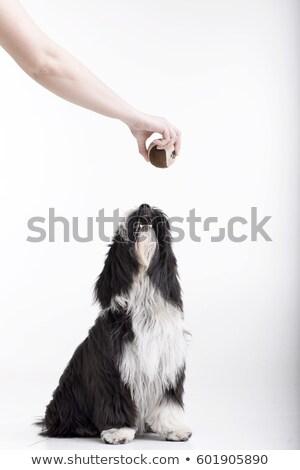 Imádnivaló terrier néz labda stúdiófelvétel izolált Stock fotó © vauvau