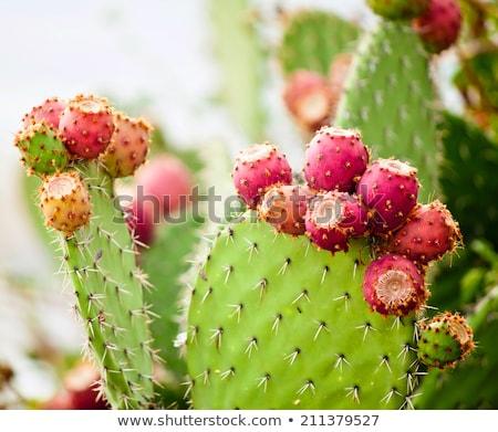Prickly pear cactus Stock photo © erbephoto