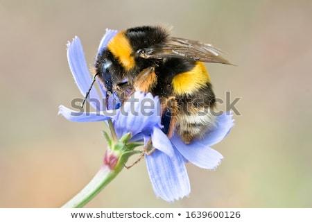 honingbij · bee · vleugels · honing · bug - stockfoto © gewoldi