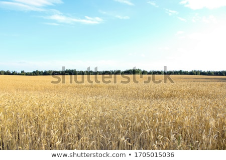 Golden wheat field and blue sky background Stock photo © flariv