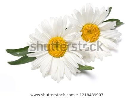 Camomille domaine ciel fleur printemps herbe Photo stock © joyr