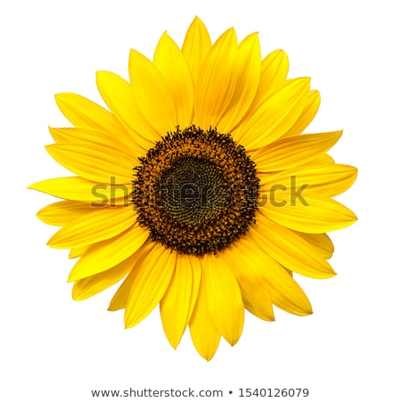 sunflower white background stock photo © elenaphoto