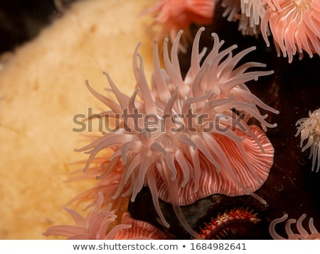 Sea Anemone Tentacles Stock photo © Laracca