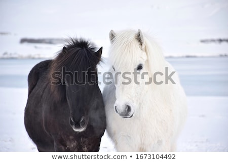 horse in the snow stock photo © koufax73