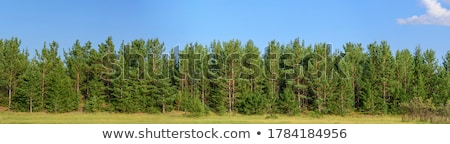 pine forest panorama Stock photo © smithore