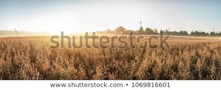harvesting field of oats Stock photo © neirfy