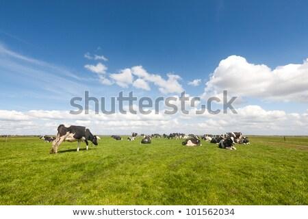 Cows in Dutch flat landscape Stock photo © ivonnewierink