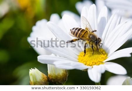 méh · fej · virág · kicsi · kúszás · fehér - stock fotó © goce