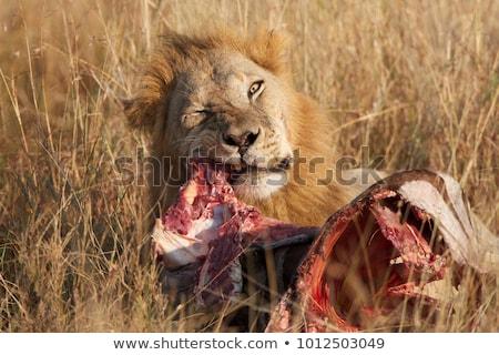 eten · mannelijke · leeuw · buit · dier · kat - stockfoto © arrxxx