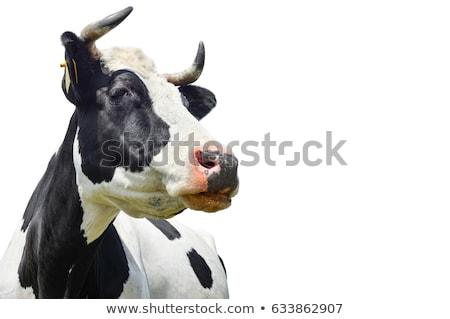 クローズアップ 牛肉 牛 カメラ 顔 ストックフォト © Gordo25