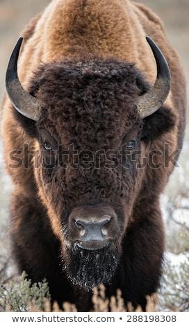 American Bison Feeding Stock photo © rhamm