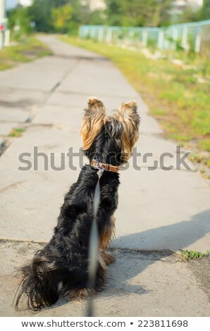 Little Yorkie at obedience training Stock photo © fantasticrabbit