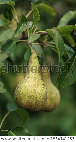 Leafs are still hanging on tree branches Stock photo © vetdoctor