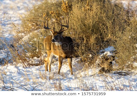 Stock photo: Whitetail Deer Buck And Doe