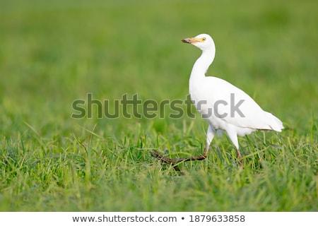 ストックフォト: 牛 · 狩猟 · 魚 · 鳥 · 砂 · アフリカ