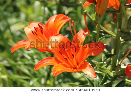 Orange Lily variété jardin de fleurs nature asian Photo stock © jenbray