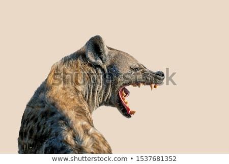 hiena · śmiechem · zabawy · portret · czerwony · Afryki - zdjęcia stock © ottoduplessis