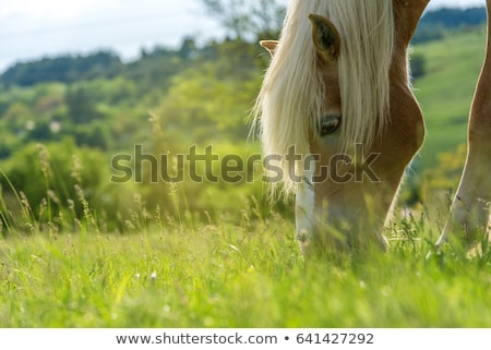 Head of a Brown Horse Grazing stock photo © rhamm