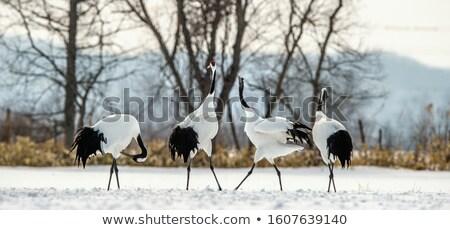 Grúa retrato pico amplio abierto aves Foto stock © dirkr