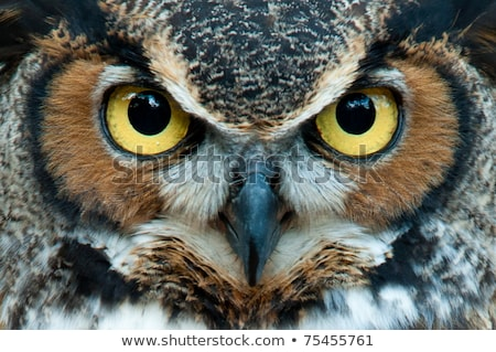 Portrait of a Yellow-eyed Owl Stock photo © ivanhor