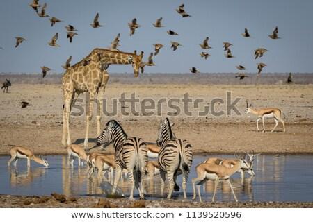 giraffe at waterhole in botswana stock photo © romitasromala