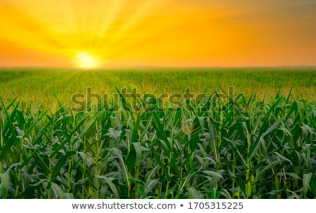 Countryside sunset with a corn field Stock photo © Sportactive