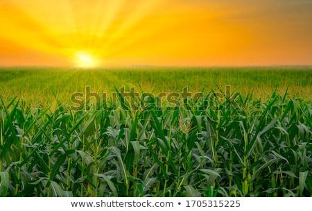 vidék · naplemente · kukorica · mező · felső · minőség - stock fotó © Sportactive