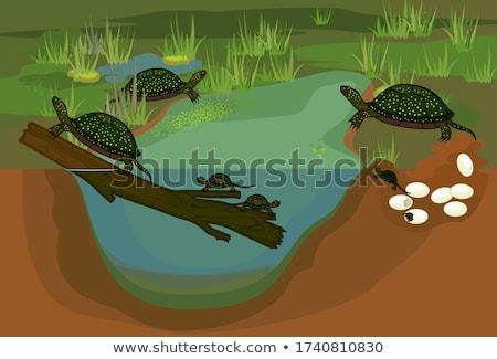 изолированный · европейский · пруд · черепахи · белый · мнение - Сток-фото © serg64