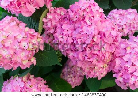 hydrangea pink flowers Stock photo © sirylok