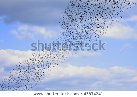 Team Of Starlings Eat Very Much Grapes Stock photo © Digoarpi