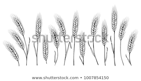Barley ears in field Stock photo © stevanovicigor