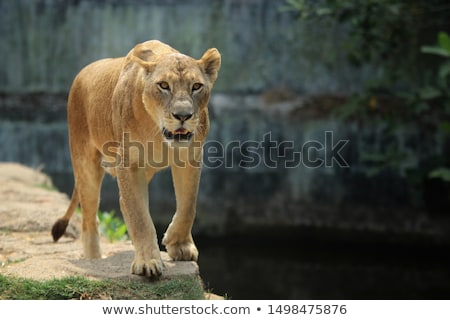 oroszlán · medvebocs · park · Dél-Afrika · természet · állat - stock fotó © simoneeman