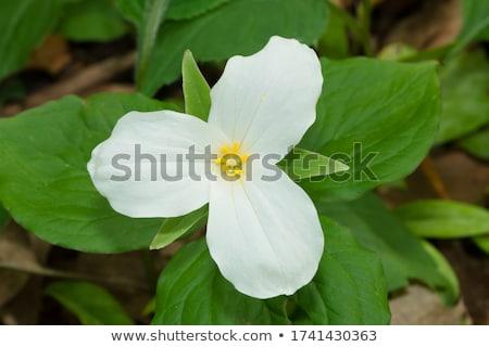 Beyaz kır çiçeği muhteşem dumanlı dağlar Stok fotoğraf © tmainiero
