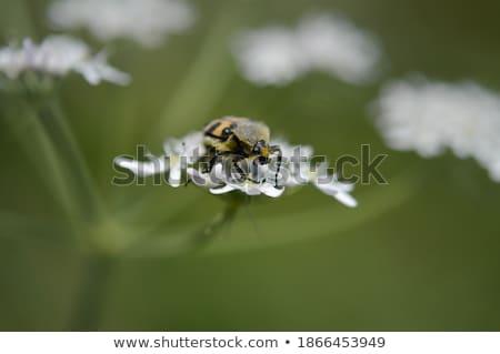 Escaravelho ver caminhada pedra grama Foto stock © daboost