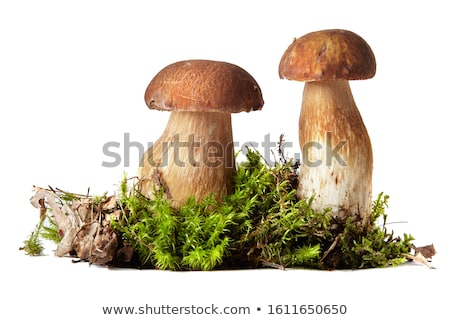 Tinóru gomba moha erdő fehér gomba növekvő Stock fotó © romvo