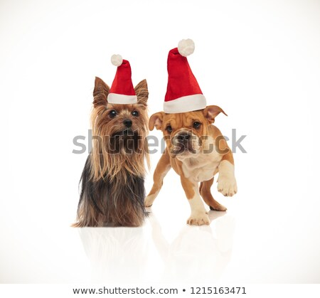 Yorkshire terrier inglês buldogue casal Foto stock © feedough