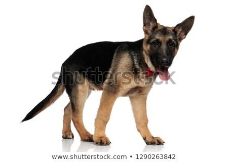 sétál · farkas · kutya · természet · szabadság · vezető - stock fotó © feedough