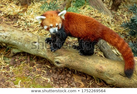 Panda drewna scena ilustracja charakter tle Zdjęcia stock © bluering