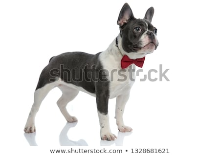 french bulldog with red bowtie looking away curious Stock photo © feedough