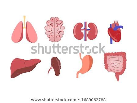 basic human organs icon set stock photo © imaagio