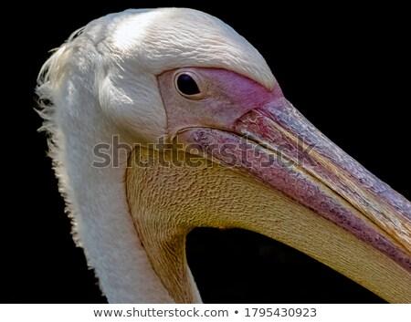 Great white pelican also known as the eastern white pelican, ros Stock photo © galitskaya