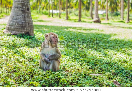 Macaque monkey sitting on the ground. Monkey Island, Vietnam Stock photo © galitskaya
