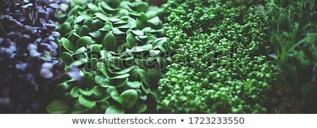 Micro greens sprouts of amaranth Stock photo © olira