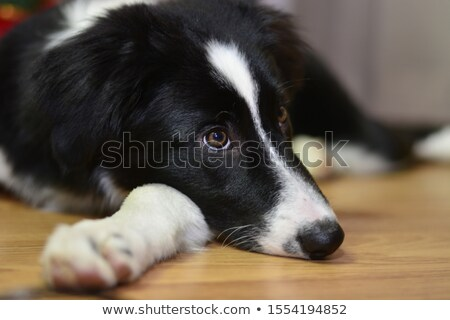 Fluffy brown dog lies on the floor Stock photo © galitskaya