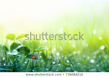 Green fresh clover stock photo © Anna_Om