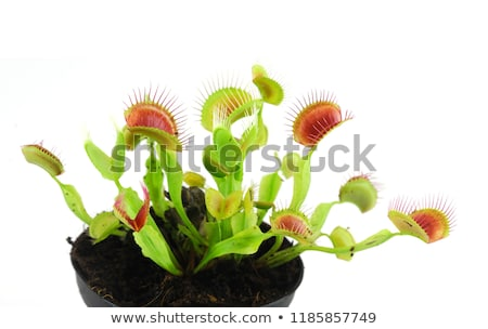 venus flytrap stock photo © macropixel