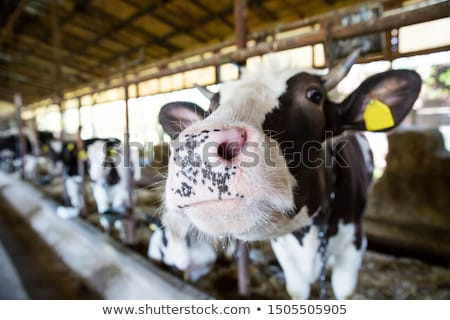 inside of a cow barn Stock photo © prill